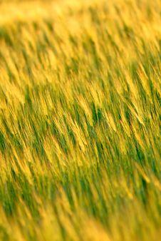 Ear Wheat, Vertical Royalty Free Stock Photos