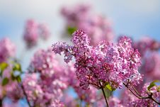 Free Lilac Royalty Free Stock Photo - 2479445