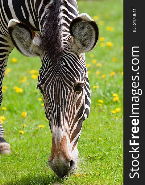Zebra eating grass. close up