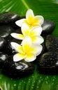 Free White Yellow Plumeria Stock Image - 24702691