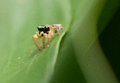 Free Jumping Spider Royalty Free Stock Photos - 24704278