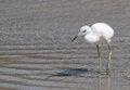Free White Heron Stock Photo - 24704330