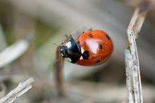 Closeup Of A Red Ladybug Stock Photos