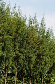 Free Trees And Sky Royalty Free Stock Images - 24700829