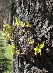 Free First New Leaves On The Tree In Spring Royalty Free Stock Photography - 24701877