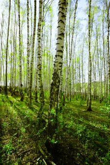 Free Forest Birch Stock Photo - 24703640