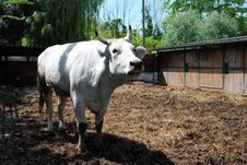 Free White Cow In A Cowshed Stock Images - 24705584