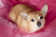 Free Chihuaha On Pink Royalty Free Stock Images - 24706579