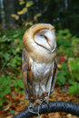 Free Owl On A Branch Royalty Free Stock Photo - 24718195