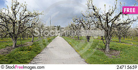 Free Road Through Cherry Orchard Royalty Free Stock Images - 24715659
