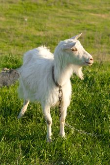 Free Grazing Goat Royalty Free Stock Image - 24711126