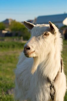 Free Cute Goat Stock Images - 24711164