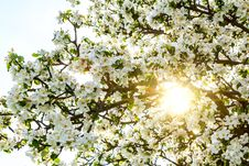 Free Blossoming Spring Tree With Sun Beam Stock Image - 24711461