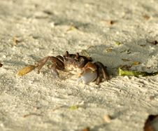 Free Large Dark Sand Crab Looking Up Royalty Free Stock Photos - 24713138