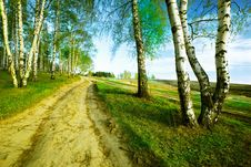 Free Forest Birch Royalty Free Stock Photo - 24715685