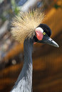 Free Crowned Crane Stock Image - 24720951