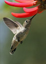Free Humming Bird Royalty Free Stock Image - 24722596