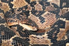 Free Rattle Snake Royalty Free Stock Photos - 24720938