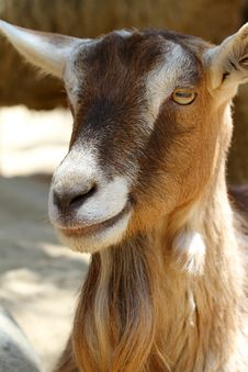 Free Goat Stock Photography - 24720962