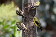 Free Finches Stock Images - 24721124