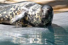 Free Gray Seal Stock Image - 24721161