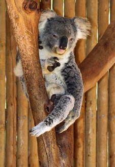 Free Koala Stock Photo - 24721170