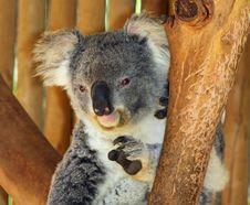 Free Koala Stock Images - 24721174