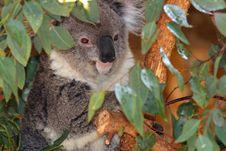 Free Koala Stock Image - 24722561