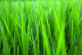 Free Paddy Rice In Green Stock Photos - 24737953