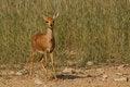 Free Steenbok In Kgalagadi Approaching Waterhole Royalty Free Stock Photo - 24739945