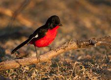 Free Crimson Shrike On Branch Stock Photography - 24730842