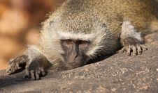 Free Monkey Portrait Stock Image - 24730881