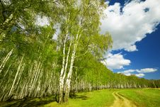 Free Forest Birch Stock Image - 24732251