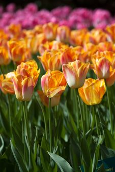 Free Colorful Tulips On Blurred Background Royalty Free Stock Photos - 24734828