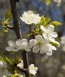 Free Spring Cherry  Blossom Stock Images - 24735054
