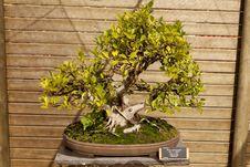 Ficus Microcarpa Royalty Free Stock Photos
