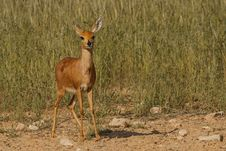Free Steenbok In Kgalagadi Approaching Waterhole Royalty Free Stock Photo - 24739945