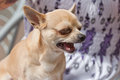 Free Howling Chihuahua Dog Stock Photo - 24742590