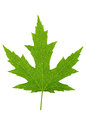 Free Maple Leaf Stock Images - 24742974
