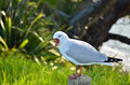 Free A Red-billed Gull Yawning Stock Photography - 24745222