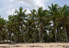 Free Caribbean Tropical Coconut Trees Royalty Free Stock Images - 24740899