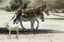 Free Wild Asses In Israeli Savanna Royalty Free Stock Images - 24741289