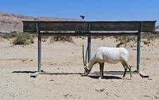 Free Addax Antelope In Israeli Savanna Stock Photography - 24741332