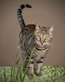 Free Bengal Cat Stock Photos - 24744963