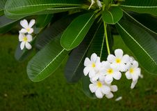 White Frangipani. Stock Photos