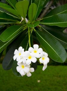 White Frangipani. Stock Images