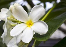 Free Branch Of Tropical Flowers Frangipani Royalty Free Stock Image - 24745716