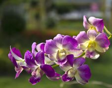 Free Vibrant Purple Tropical Orchid Royalty Free Stock Photo - 24745725