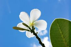 Free Frangipani Stock Photo - 24749410
