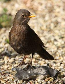 Free Blackbird Stock Image - 24749941